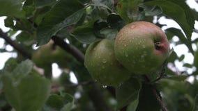 Twoo smakelijke groene appelen met regendalingen op de boom De zomerregen i nthe tuin stock videobeelden