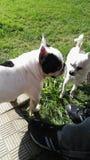 Twoo vithundkapplöpning Royaltyfri Foto