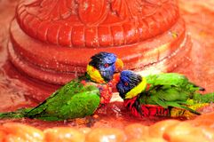TwoRainbow Lorikeet birds in bird bath Royalty Free Stock Photography