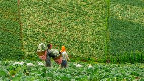 TWorkers mit Körben auf dem Kohlgebiet in Thailand Stockfoto