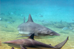 TwoSharks. Two reef sharks up close Royalty Free Stock Photography