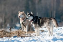 Twosled dogs siberian huskies in winter Royalty Free Stock Photography