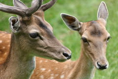 Twosome. Loveley deers royalty free stock images