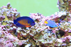Twospined Angelfish Royalty Free Stock Image