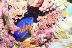 Twospined Angelfish Stock Photo