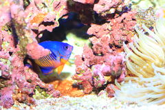 Twospined Angelfish Stock Images