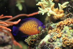 Twospined angelfish Royalty Free Stock Photos