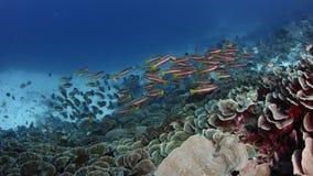 twospot攫夺者Lutjanus biguttatus学校在Corl礁石,慢动作游泳 股票录像