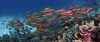 twospot攫夺者Lutjanus biguttatus学校在Corl礁石,慢动作游泳 影视素材