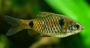 Twospot Barb (Puntius ticto) Stock Photo