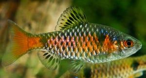 Twospot Barb (Puntius ticto). Male Twospot Barb (Puntius ticto stock image