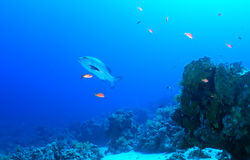 Twospot red snapper Stock Image