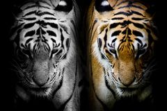 TwoTiger Royalty Free Stock Images