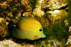 Twotone or Scopas Tang. (Zebrasoma scopas) Fish in Aquarium Stock Image