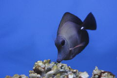Twotone tang. The Scopas Tang or Twotone Tang (Zebrasoma scopas) is a marine reef tang in the fish family Acanthuridae. They may live at water depths of 1 - 60 m Royalty Free Stock Photo
