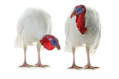 TwoTurkey Royalty Free Stock Photography
