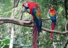 Twp Red colored Ara Parrot royalty free stock photo