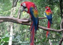 Twp Rode gekleurde Ara Parrot Royalty-vrije Stock Foto