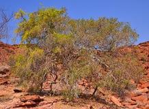 Twyfelfontein Damaraland : arbres blancs image libre de droits