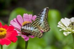 Tyły cążki motyl Zdjęcia Stock