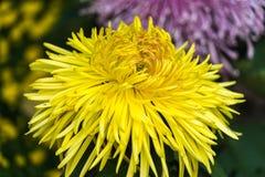 Żółty chryzantema kwiat Fotografia Stock