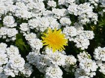 Żółty dandelion w białym tle Fotografia Stock