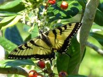 Żółty dymówka ogonu motyl Zdjęcia Royalty Free