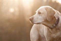 Żółty labrador w słońcu Fotografia Royalty Free