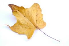 Żółty liści Zdjęcia Royalty Free
