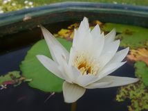 Żółty pollen biel, waterlily zieleń liście i Obrazy Stock