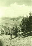 Tyan-Shan spruce 1965 Royalty Free Stock Photography