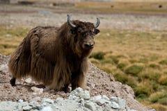 Tybetańscy Yak zdjęcie stock
