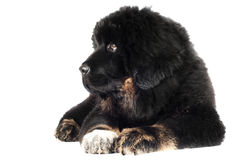 Tybetańskiego mastifa szczeniak Obraz Stock