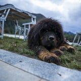 Tybetańskiego mastifa szczeniaki zdjęcie royalty free