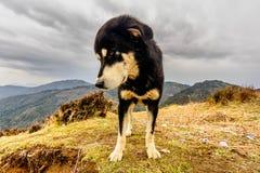 tybetańskiej mastifa Zdjęcia Stock