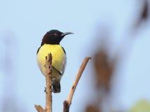 Tyczenie purpur sunbird ah bizhyuteriya goa ind indyjski pobliski morze handluje kobiety Zdjęcia Stock