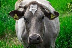 Tydlig ko på medowen Fotografering för Bildbyråer