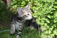 TYGER e crisantemi: Tabby Kitten Explores il giardino fotografie stock libere da diritti