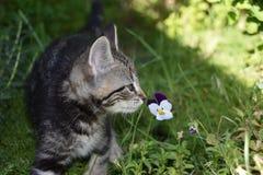 TYGER e viola: Tabby Kitten Explores il giardino fotografia stock libera da diritti