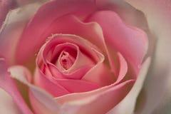 tyghand - den gjorda pinken steg Royaltyfri Bild