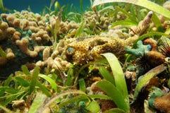 Tyglad Burrfish som är undervattens- i det karibiska havet Royaltyfri Foto