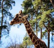 3 tygodni stara żyrafa w zoo zdjęcie stock