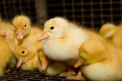 Tygodniowi puszyści kaczątka przy farmą drobiu Fotografia Royalty Free