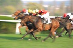 Tygr rokytensky nella corsa di cavalli a Praga immagine stock