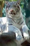 tygrys 1 white Fotografia Royalty Free