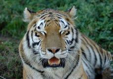tygrys Obrazy Royalty Free