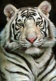 Tygrys Zdjęcie Royalty Free