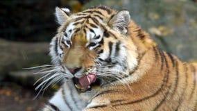 Tygrys zbiory