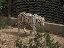 Tygrys Zdjęcia Royalty Free