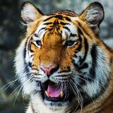 Tygrys, Fotografia Royalty Free